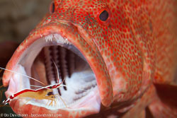 BD-130405-Tulamben-0489-Cephalopholis-sonnerati-(Valenciennes.-1828)-[Tomato-hind],-Lysmata-amboinensis-(de-Man.-1888)-[Scarlet-cleaner-shrimp.-Putsarräka].jpg